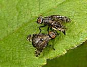 Signal flies mating