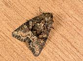 Clouded brindle moth