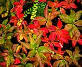 Azalea foliage in autumn
