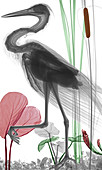 Heron,coloured X-ray