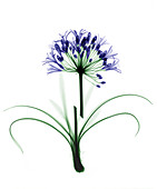 Agapanthus flower,coloured X-ray