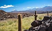 Atacama landscape with cactus,Chile