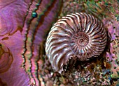 Structural colour ammonite modern abalone