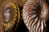 Two beautiful Jurassic Ammonites