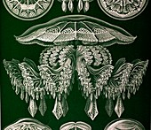 1904 Haeckel's mistress Frida's Jellyfish