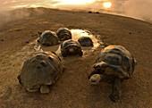 Giant Galapagos Tortoise Volcano day
