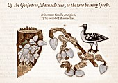 1597 Goose Barnacle Tree of Gerard Herbal