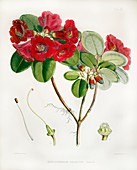 1851 Rhododendron named by Joseph Hooker