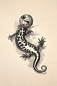 1863 Kingsley waterbabies human newt