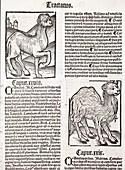 1491 First Camel print Hortus Sanitatis
