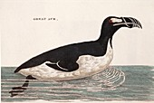 1776 Pennant swimming extinct great auk