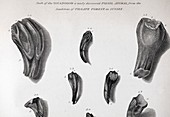 1825 Mantell First Iguanodon teeth clean