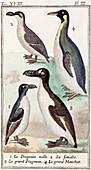 1787 Great Auk and penguin illustration