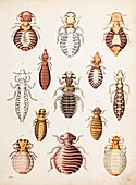 1861 A variety of biting lice