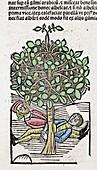 1491 Bausor opium tree Hortus Sanitatis