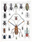 1843 Oken beetle plate illustration