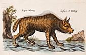 1658 Merian Jonston Lupus marina wolf