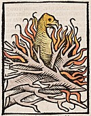 1491 Phoenix in flames Hortus Sanitatis