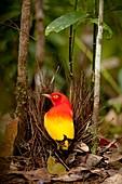 Flame Bowerbird in Bower animal art