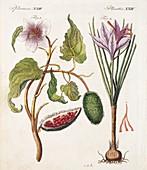 1795 Achiote Saffron natural food colour