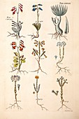 1767 Plate of plants from James Petiver