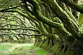 Ancient Beech hedgeline on Exmoor,UK