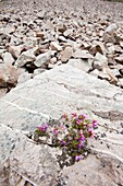 Bell Heather growing on a granite boulder