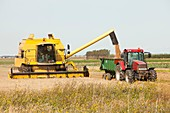 A combine harvester,harvesting wheat