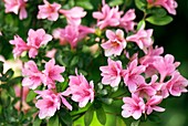 Kurume azalea (Rhododendron 'Kirin')