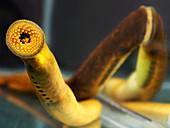 Sea lampreys (Petromyzon marinus)