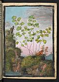 Adiantum capillus-veneris,illustration