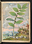 Medicinal plant,illustration
