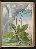 Plantain (Plantago sp.),illustration