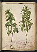 Annualmercury (Mercurialis annua)