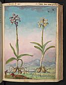 Orchids,16th century illustration