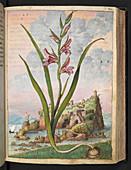 Gladiolus italicus,illustration