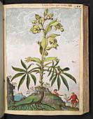 Hellebore (Helleborus sp.),illustration