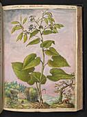 Honesty (Lunaria sp.),illustration