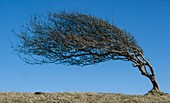 Wind sculpted tree