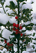 Snow-covered holly,Ilex sp.,with berries