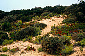 Coastal sand dune vegetation,Portugal