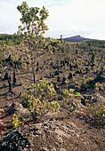Plant regrowth on a lava flow,Hawaii