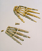 Fossil and modern hand bones of A. afarensis