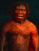 Model of a male Homo erectus man