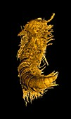 Prehistoric millipede,coloured CT scan