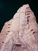 Fossilised crocodile jaw