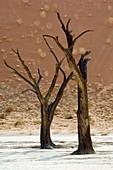 Dead Acacia trees
