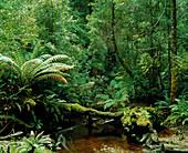 Understorey of temperate rainforest with stream