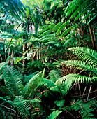 Tree ferns in tropical rainforest
