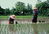 Planting rice in paddy fields,Thailand